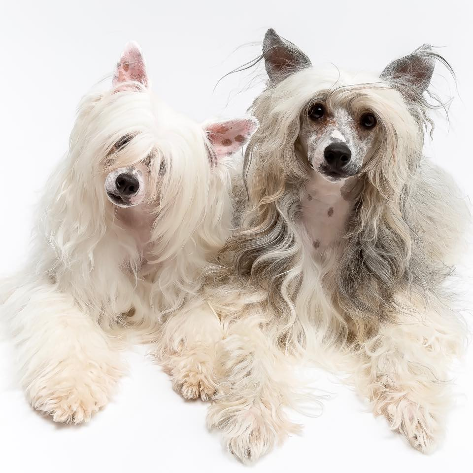 Bif and Doc, two Chinese Crested Powder Puffs