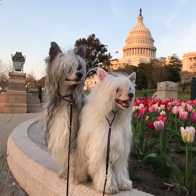 Bif and Doc, a Pair of Chinese Crested Powderpuffs visit the US Capitol