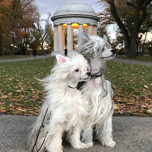 A pair of windswept Chinese Crested Powderpuffs