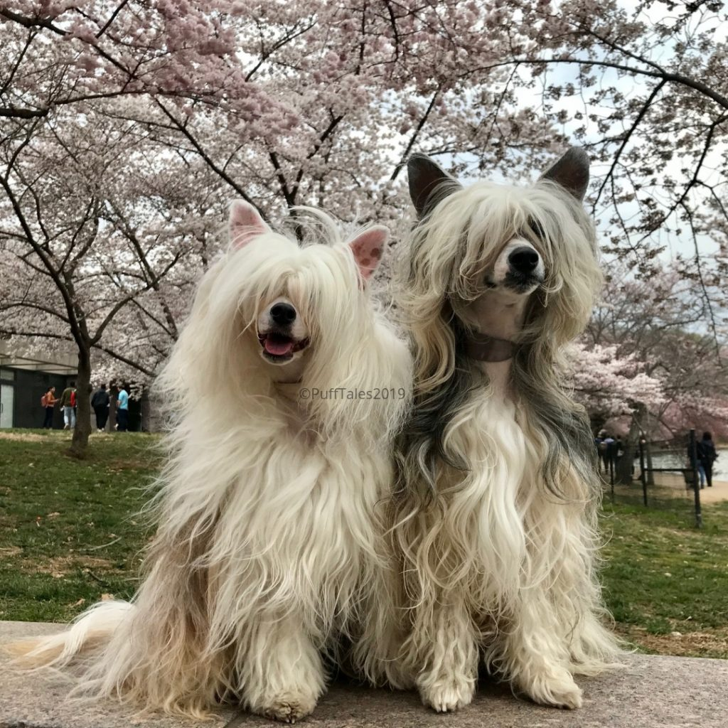 The Puffs at the Cherry Blossom Festival