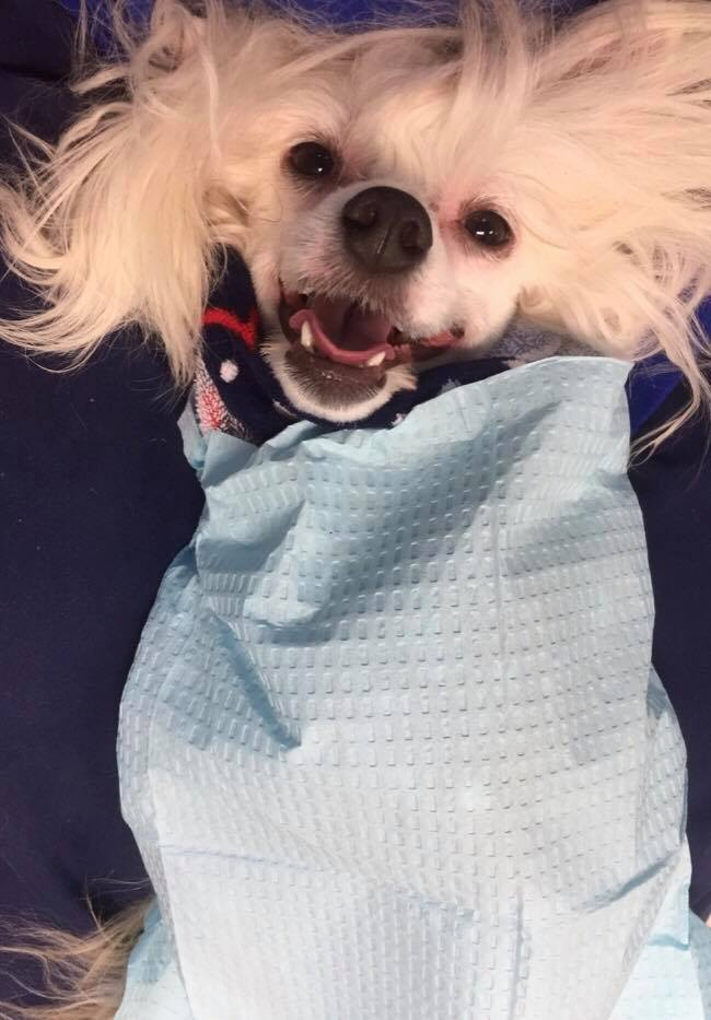 Chinese Crested Powder puff swaddled and ready for anesthesis free cleaning