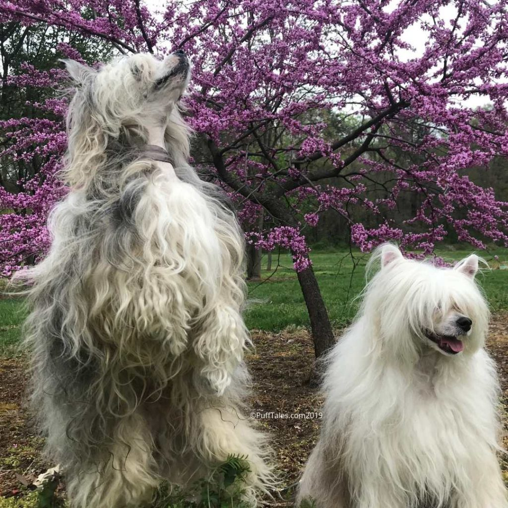 Two Chinese Crested Powderpuffs chase bees.