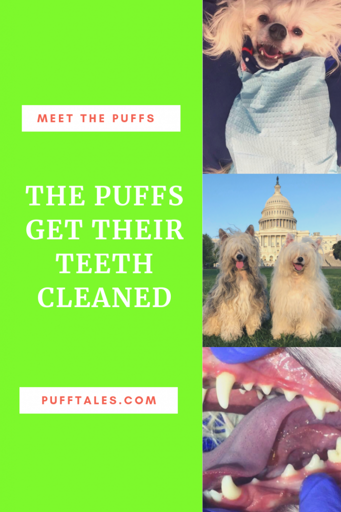 Anesthesia free dental cleaning for dogs.
