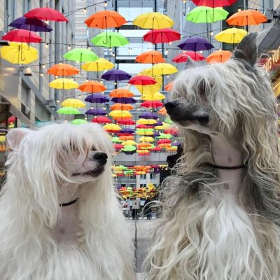 Bif and Doc, two Chinese Crested Powderpuffs in Chinatown